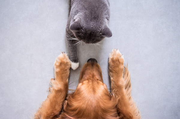Grey cat and tan dog facing each other.