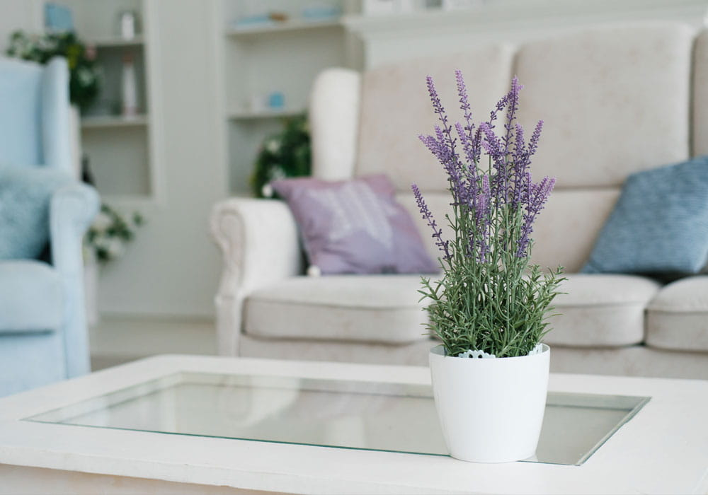 Lavender plant on coffee table in living room