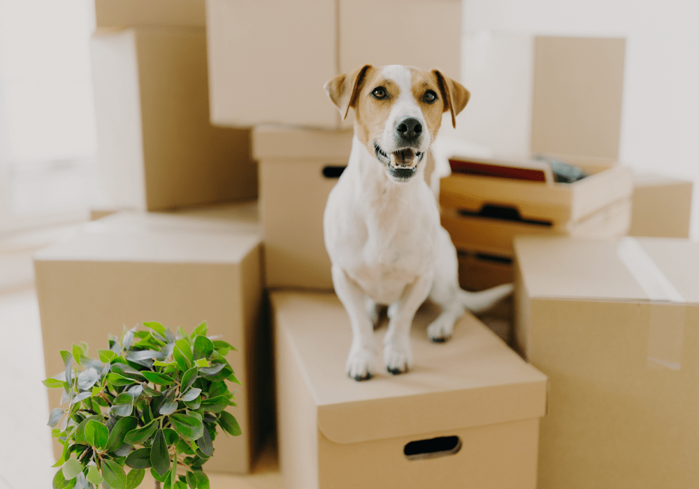 Dog on top of moving boxes ready to relocate