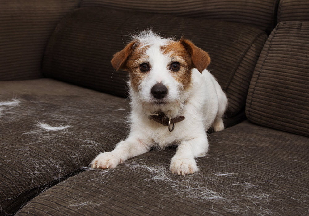 Dog shedding white fur on brown couch.
