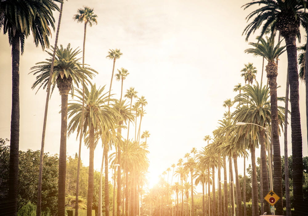 Palm trees in Los Angeles at sunset.