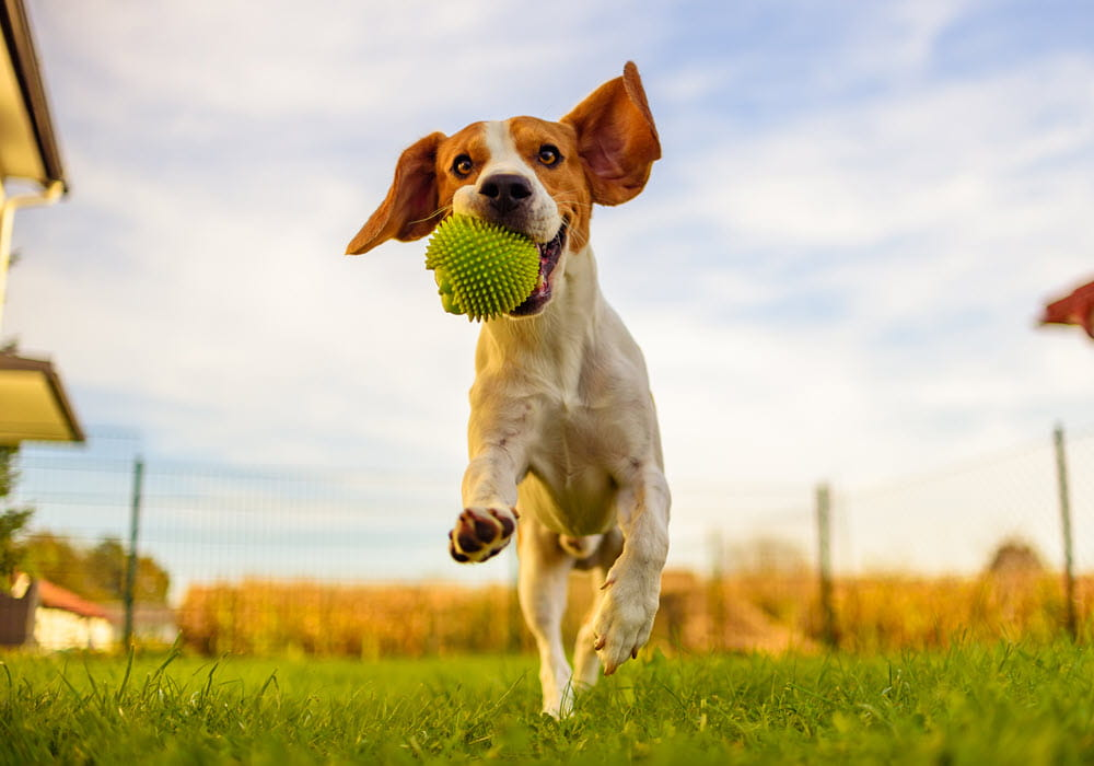 Dog playing with a ball at a dog park.