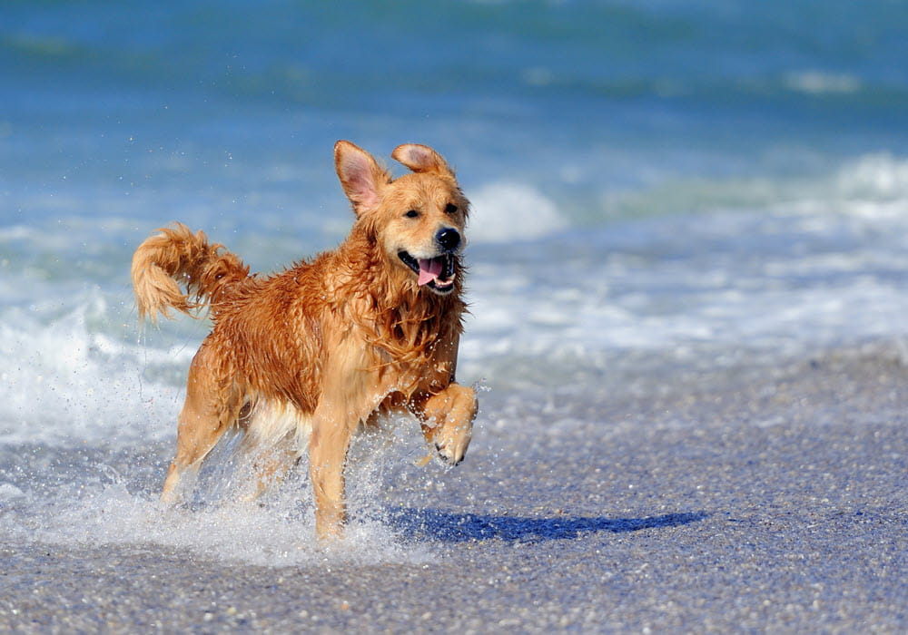 Golden dog prancing in water at the beach,